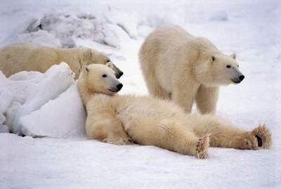 Polar Bears are having a Good Time!