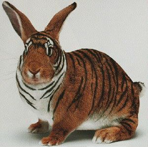 Tiger Rabbit !